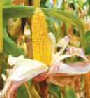Насіння кукурудзи сорту ДС1202Б