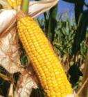 Насіння кукурудзи сорту ДС1385А