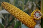 Гібрид кукурудзи сорту ДН Зоряна