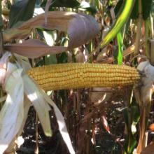Семена кукурузы Да Сонка