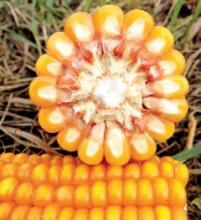 Семена кукурузы ДС0479Б