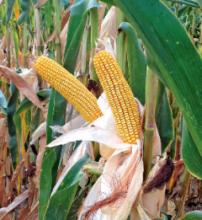 Семена кукурузы ДС0527С