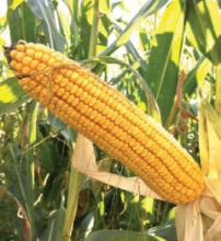 Насіння кукурудзи сорту ДС1071С