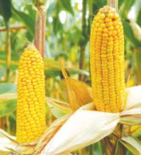 Насіння кукурудзи сорту ДС1157А