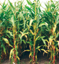 Насіння кукурудзи сорту ДС1176Б