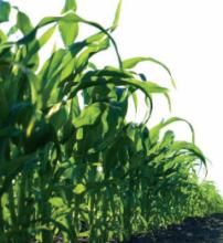 Насіння кукурудзи сорту ДС1522С