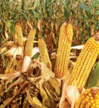 Насіння кукурудзи сорту МТ261