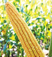 Насіння кукурудзи сорту МТ Матадо