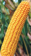 Насіння гібриду кукурудзи сорту Соломон