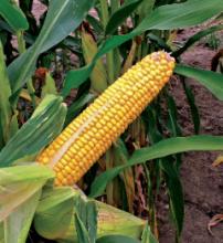 Насіння кукурудзи сорту Сурреал