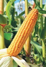 Насіння гібриду кукурудзи сорту ЄС Тріо