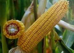 Гібрид кукурудзи сорту ДН Галатея