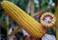Гібрид кукурудзи сорту Оржиця