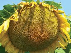 Насіння соняшника сорту 8Х288КЛДМ
