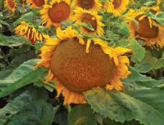 Насіння соняшника сорту 8Х463КЛ
