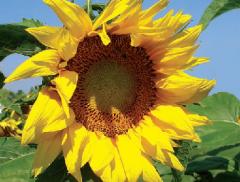 Насіння соняшнику сорту 8Х477КЛ