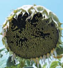 Насіння гібриду соняшника сорта Альзан