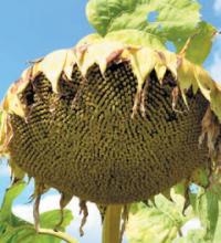 Насіння гібриду соняшника сорту Анцилла