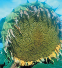 Насіння гібриду соняшника сорту Арлет