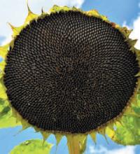 Насіння гібриду соняшника сорту Тео