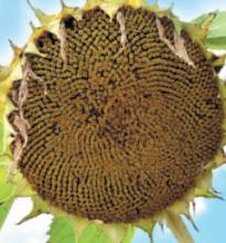 Насіння гібриду соняшника Вінченцо