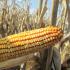 Насіння кукурудзи сорту ДС0791С